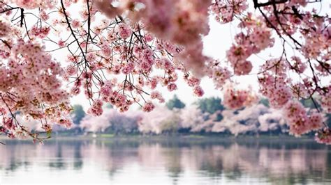 cherry blossoms expected to hit peak bloom on march 17 washingtonian