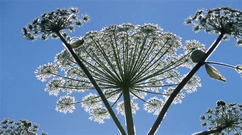 Der Garten Des Riesen by Giftpflanze Riesenb 228 Renklau Breitet Sich Aus