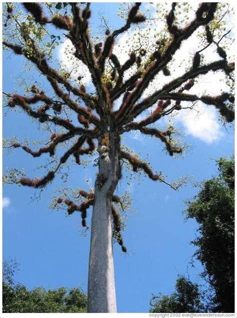 tree of tikal ceiba tree the national tree of guatemala photo