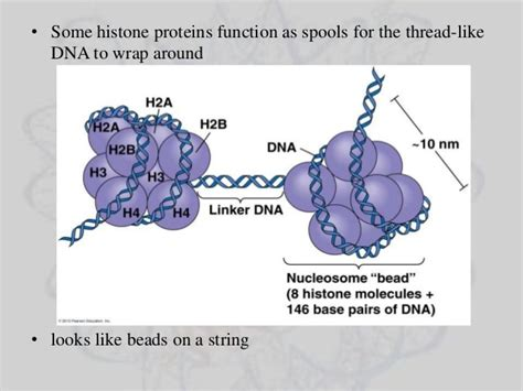 bead like proteins around which dna coils histone proteins and genome imprinting