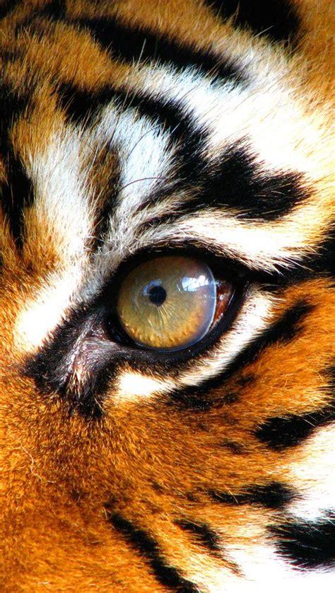 tigers eye tiger eye things