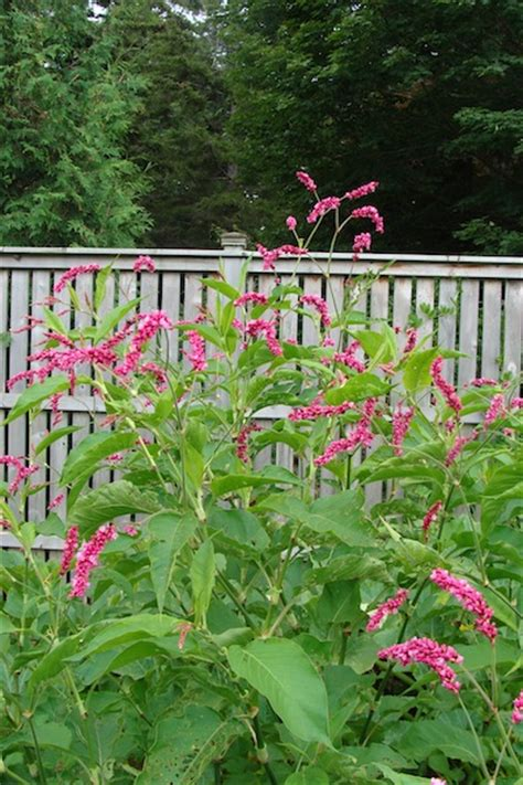 me the garden gate flower me the garden gate polygonum