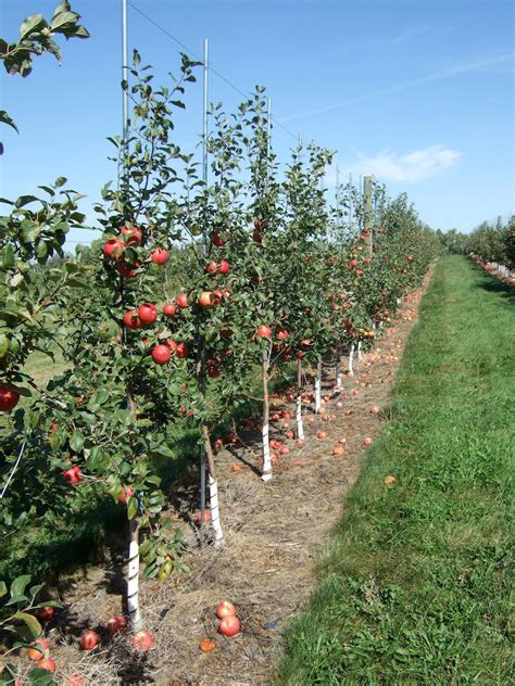 why tree growing apples in home garden