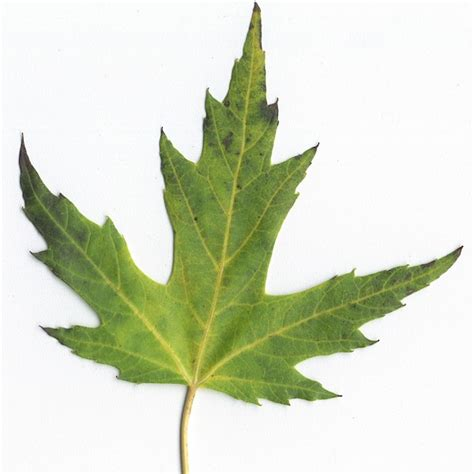 maple tree leaves differences between maple and soft maple the wood database
