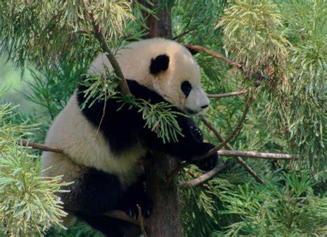 one panda file shan national zoos panda cub at 1 year