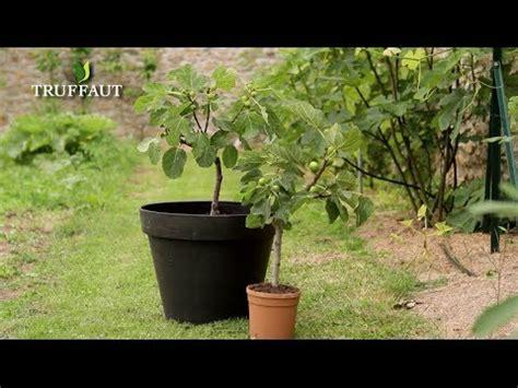 comment planter un figuier jardinerie truffaut tv
