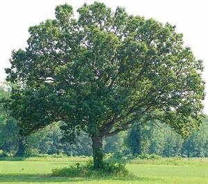 tree in white white oak for wine paso wine barrels
