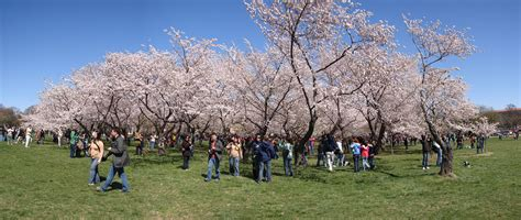 8 facts about washington dc s cherry blossom festival roadtrippers