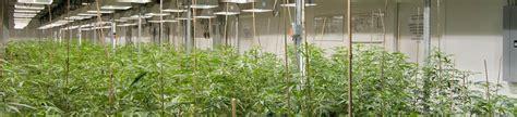 la plantation et la culture de cannabis 224 l int 233 rieur high supplies