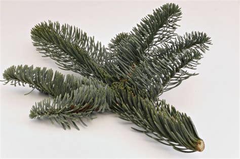 weihnachtsbaum tanne weihnachtsbaum nobilis tanne abies nobilis christbaum