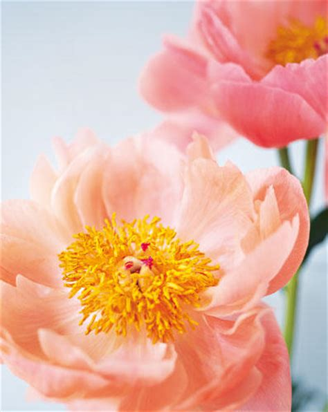 Der Duftende Garten Stellung by Blumen Pfingstrosen Die Ballk 246 Niginnen Unter Den Blumen
