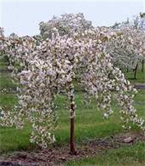 mountain view tree farm ornamental trees crabapple weeping 100 images black