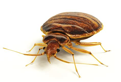 bead bugs the dreaded hitchhikers the bed bugs atlanta pest