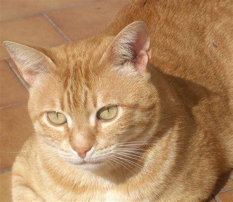 orange cat file orange tabby tony jpg