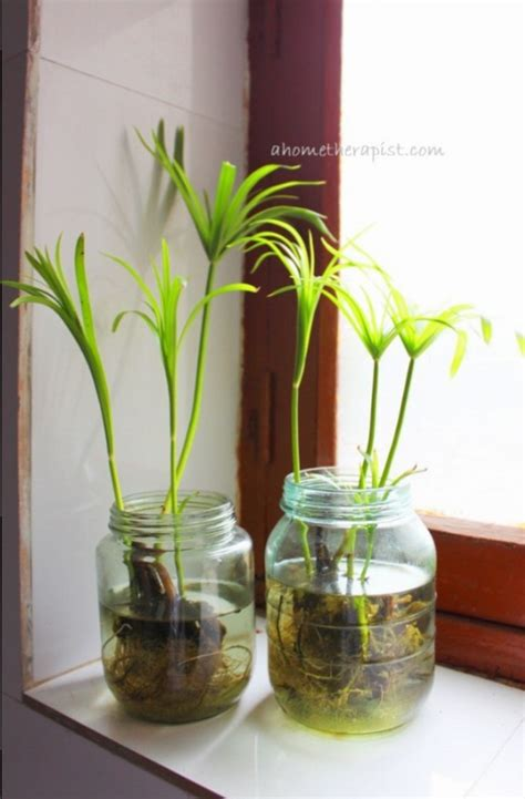 plants in water no soil indoor plants ahometherapist