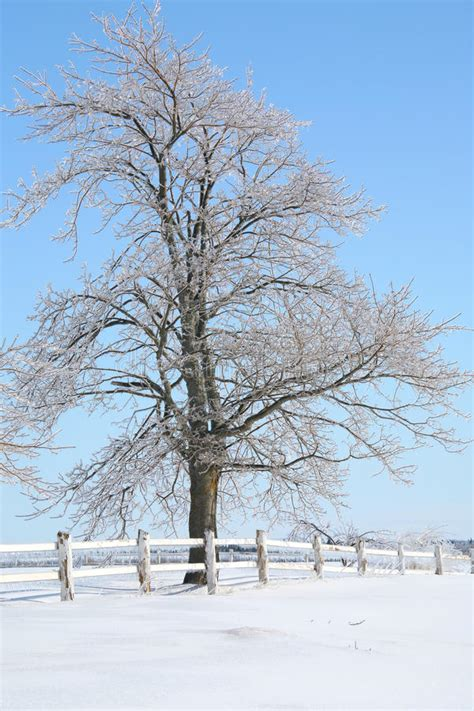 maple tree in winter winter maple tree stock photo image of canada snow 21449396