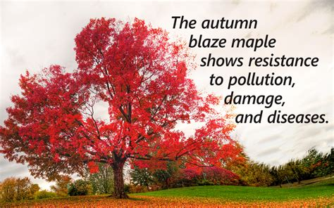 maple tree facts autumn blaze maple growth rate