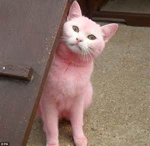 pink cat the pink panther of swindon white cat is abandoned after