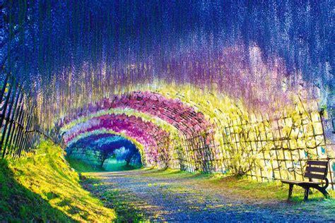 flower tunnel a colorful walk wisteria tunnel at kawachi fuji gardens