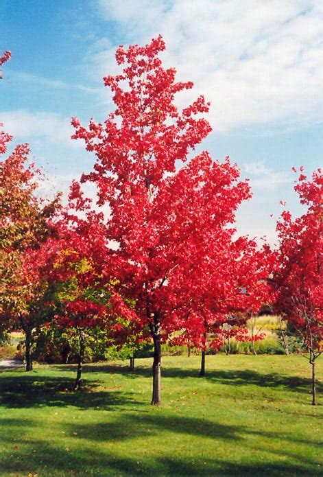 acer rubrum canadian maple leafland
