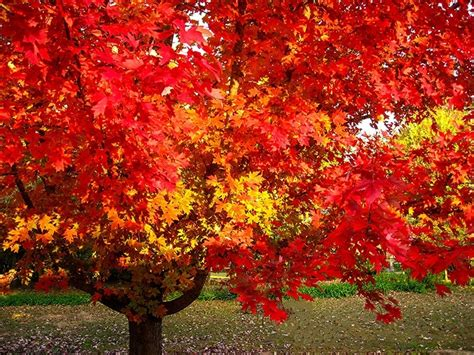 october maple for sale the tree center