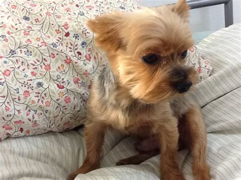 how to cut yorkie hair at home yorkie haircuts pictures summer cuts 356 best images