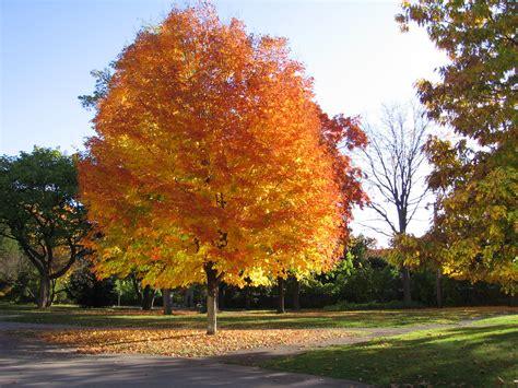maple tree in fall maple tree dedications barlow farm