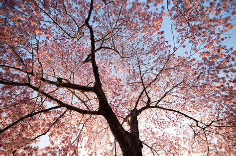 beautiful pictures cherry blossom trees beautiful cherry blossoms in bloom