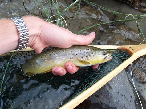 fishing trout trout fly fishing brown trout