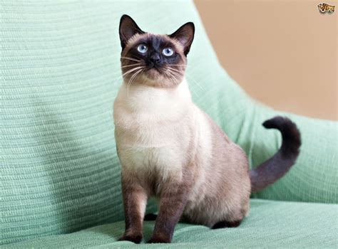 images cats 7 gorgeous breeds of colourpoint cats pets4homes