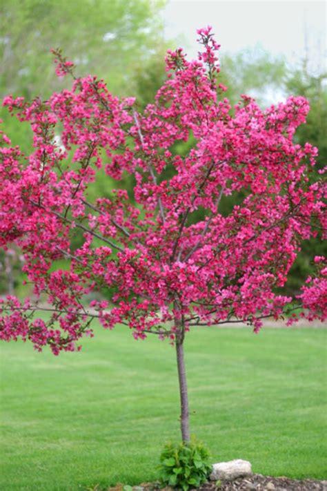 pink tree uk prairie crab apple trees chris bowers