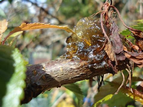 my garden bacterial canker on ornamental cherry tree