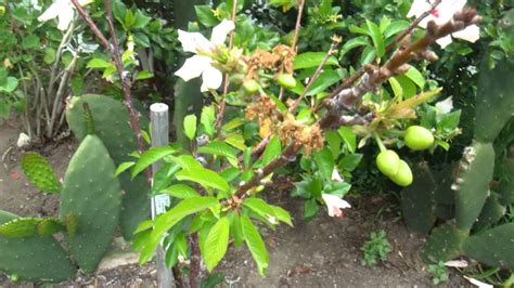 cherry tree flowering and fruiting