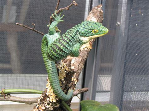 Abronia Arboreal Alligator Lizard Arboreal Snakes