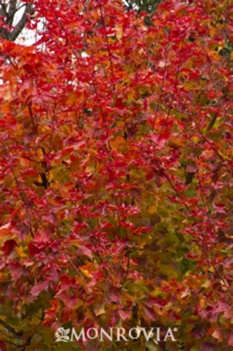 autumn blaze 174 maple monrovia autumn blaze 174 maple
