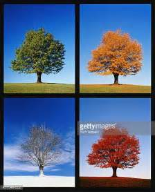 all tree maple tree stock photos and pictures getty images