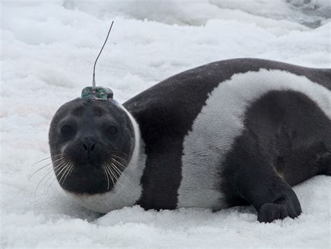 seal ribbon rarely seen arctic ribbon seal comes ashore in washington