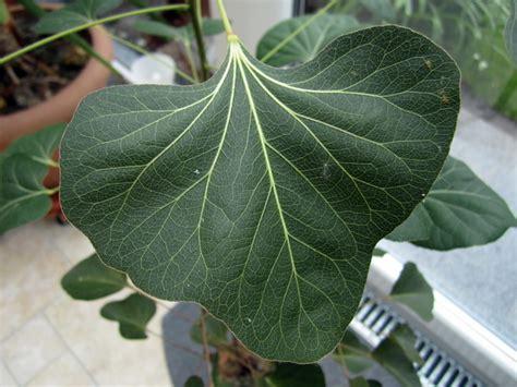 Baum Mit Roten Blättern 136 by Selbst Aus Samen Gezogen Aber Was