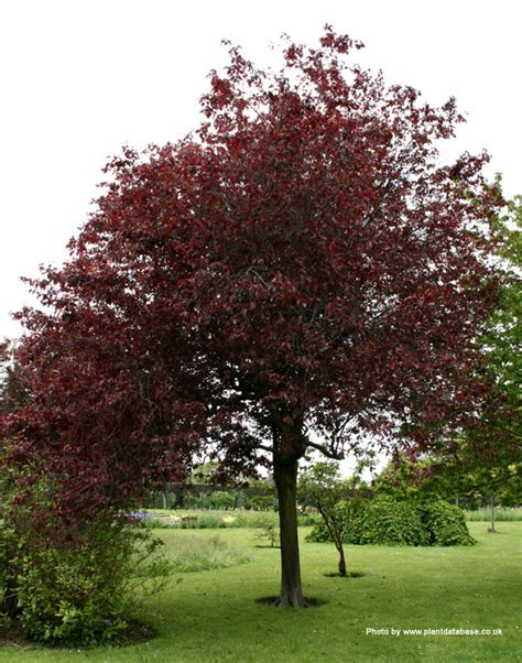 buy cherry or myrobalan plum tree from uk supplier