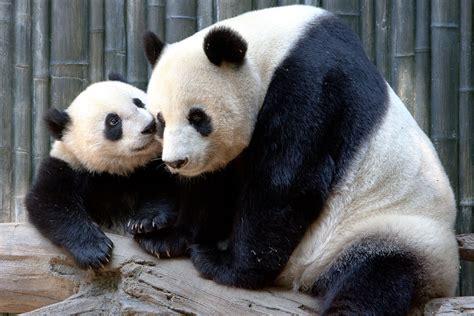 animal cam panda cam san diego zoo