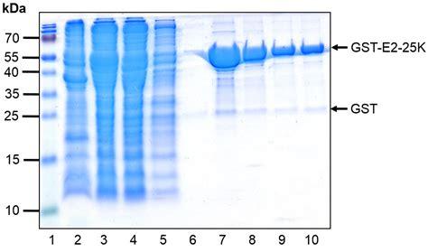 Glutathione Xpure Agarose Resin Protein Expression