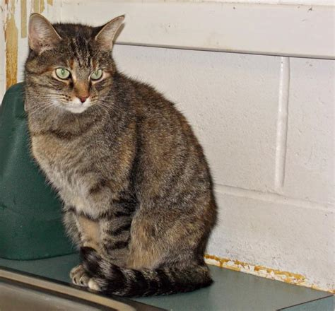 cat for adults adopt an cat month at lcas boothbay register