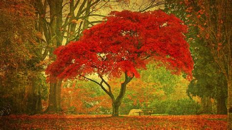 how do maple trees live reference