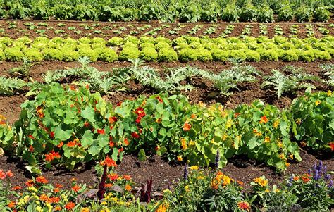 flowers to plant in vegetable garden why you should always plant flowers in your vegetable
