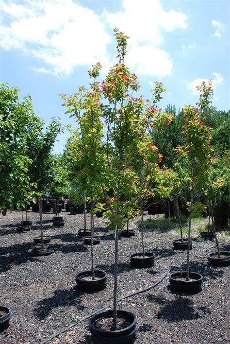 maple tree colorado maple wings for sale in boulder colorado