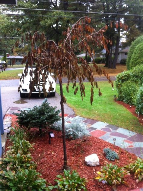 tree brown transplanting a weeping cherry tree thriftyfun