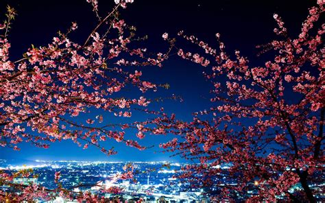 blossom lights photo collection cherry blossom lights wallpaper hd