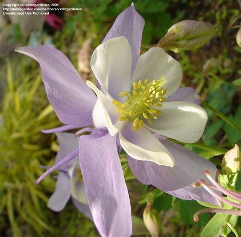 aquilegia origami plantfiles pictures aquilegia origami hybrid columbine