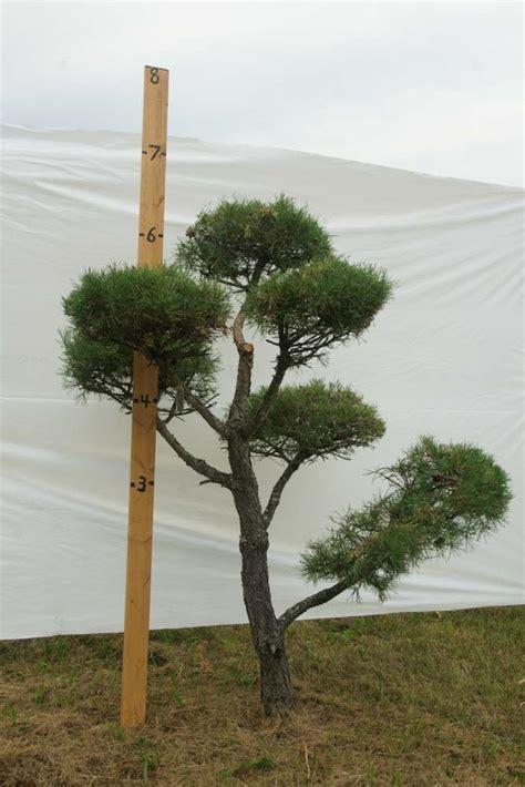 tree c 187 scotch pine topiary tree 413 plants beautiful nursery