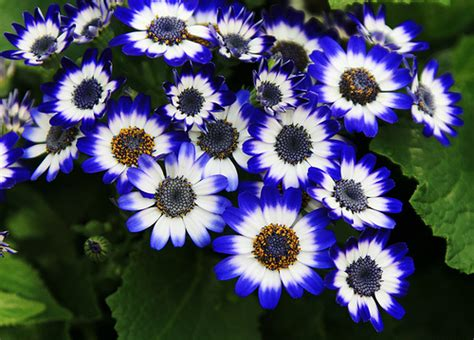 of flowers cineraria flower pictures meanings of cineraria flowers